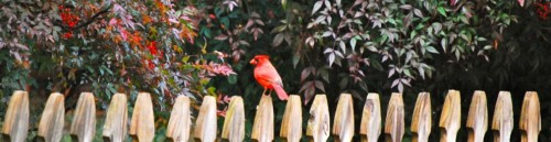 cropped-cardinal-with-nandina.jpg