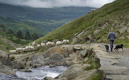 rebanks.sheep.beck.road.dogs